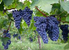 Dark blue Italian grapes, growing on the vine. Lunigiana, Italy, grown for wine. Royalty Free Stock Images