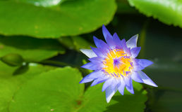 Dark blue lotus flower (water lilly) and leaf with soft focus Royalty Free Stock Photos
