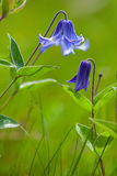 Dark blue meadow flower Royalty Free Stock Images