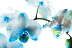 Dark blue orchid. Small flowers of a blue orchid on a white background Stock Images