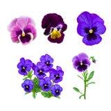 Dark blue pansy flower Stock Photography
