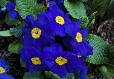 Dark blue primula flowers. With leaves Stock Photos