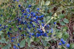 Dark blue ripe sloe fruit on branches of blackthorn or Prunus spinosa Stock Image