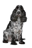 Dark blue roan Cocker Spaniel Royalty Free Stock Images