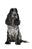 Dark blue roan Cocker Spaniel Royalty Free Stock Photos