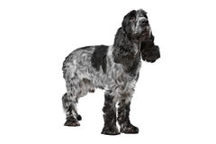 Dark blue roan Cocker Spaniel Royalty Free Stock Image