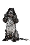 Dark blue roan Cocker Spaniel Stock Image
