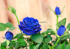 Dark blue roses flower bush with buds, green leaves, close up Royalty Free Stock Photo