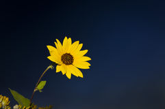 Dark Blue Sky with a bright yellow flower Royalty Free Stock Image