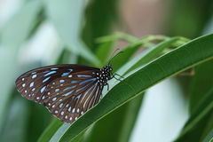 Dark Blue Tiger Butterfly Stock Image