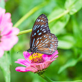 Dark Blue Tiger butterfly Royalty Free Stock Photos