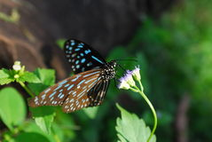 Dark blue tiger butterfly on flower with lush green, open Royalty Free Stock Photography