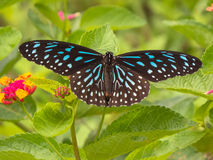 Dark Blue Tiger butterfly. Royalty Free Stock Photography
