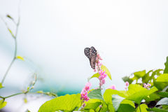 Dark Blue Tiger Butterfly perching on pink flowers Royalty Free Stock Image