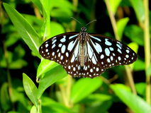 Dark Blue Tiger Butterfly Stock Photo