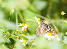Dark Blue Tiger butterfly  sucking food from flower Stock Photo