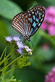 Dark Blue Tiger butterfly (Tirumala septentrionis) Royalty Free Stock Image