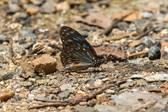 Dark Blue Tiger, Danaid butterfly with blue marks on wings on th Royalty Free Stock Photography