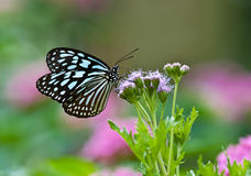 Dark Blue Tiger (Tirumala septentrionis) butterfly Royalty Free Stock Photos