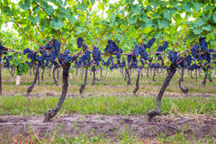 Dark blue Vineyard Grapes on trees Royalty Free Stock Photography