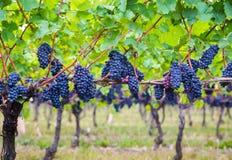 Dark blue Vineyard Grapes on trees Royalty Free Stock Photography