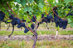 Dark blue Vineyard Grapes on trees Royalty Free Stock Images