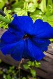 Dark blue violet in the green summer garden. Big dark blue violet in the green summer garden Royalty Free Stock Photo