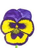 Dark blue and yellow pansy on white background, watercolor stock photography