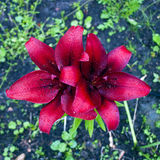 Dark bordeaux  lily  flower Royalty Free Stock Photo