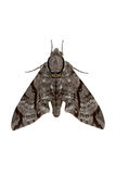 Dark-bordered Hawkmoth isolated on white background. Full body of Dark-bordered Hawkmoth isolated on white background Stock Photo