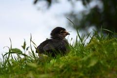 Dark brahma chick Stock Photos