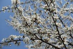 Dark branches of Prunus cerasifera with flowers against blue sky. Dark branches of Prunus cerasifera with white flowers against blue sky stock photos