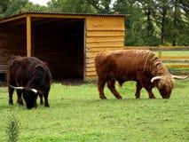 Dark and bright Scottish highland cow Stock Photos