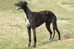 Dark brindle greyhound standing in rough grass Stock Photos
