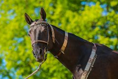 Dark brown akhal teke warm blood horse. With decorated silver and red show halter on standing in a pasture, sunny spring day at a ranch, green tree and blue sky royalty free stock photos