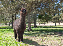 Dark Brown Alpaca In A Field With Trees. A dark brown smiling unsheared alpaca in a grassy field with trees royalty free stock image