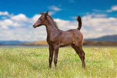 Dark brown Arabian foal. In meadow royalty free stock photography