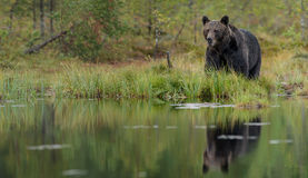 Dark brown bear reflected Stock Photos