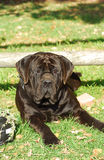 Boerboel dog big Stock Photography