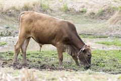 Dark brown bull stand on mud swamp Royalty Free Stock Image
