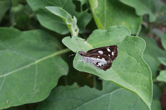 Dark brown butterfly. The dark brown butterfly perched on leaves of eggplant Royalty Free Stock Photography