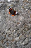 Vanessa atalanta, the Red admiral stock photography