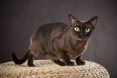 Dark brown cat Royalty Free Stock Photo