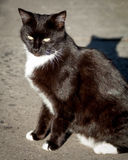 Dark Brown Cat with White Socks and Bib on Sidewalk. Dark brown cat with yellow eyes and white socks and bib sitting up on the sidewalk in the sunlight showing Stock Photo