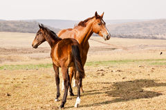 Dark brown and chestnut horses Stock Photography