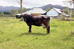 Dark brown cow against the backdrop of mountain scenery Royalty Free Stock Photo