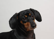 Dark Brown Dachshund. An inquisitive-looking dark brown and black Dachshund royalty free stock photo