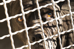 Dark brown dog behind fence. Dark brown pit-bull mix dog with sad, amber colored eyes, behind a white metal fence of a kennel, close up view Royalty Free Stock Photos