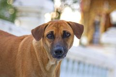 Dark brown dog standing face. Book Stock Photo
