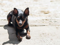 Dark brown dog. Under the sun royalty free stock photo